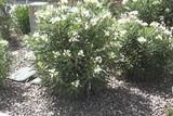 Nerium oleander 'Sister Agnes' Bush White Oleander Bush - 5 Gallon