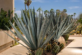 "Agave Tequilana - 24"" Box"