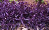 Tradescantia pallida 'Purple Heart' - 5 Gallon