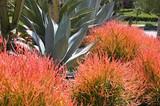 Euphorbia tirucalli 'Sticks on Fire' - 15 Gallon