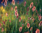 Pennisetum messacum 'Red Bunny Tails' Fountain Grass - 5 Gallon