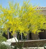 "Cercidium 'Desert Museum' Low Branch Palo Verde - 24"" Box"