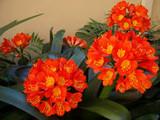 Clivia miniata 'Belgian Hybrid' Kaffir Lily - 5 Gallon