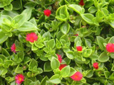 Aptenia Cordifolia 'Red Apple' - Flat