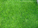 Arenaria verna 'Irish Moss' - Flat
