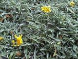 Dymondia Margaretae ' Dymondia' - Flat