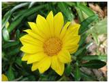 Gazania 'Sunburst Yellow' - Flat