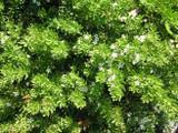 Myoporum parvifolium 'Putah Creek' - Flat
