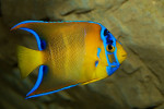 Queen Angelfish (Medium 3-5 inches)