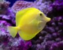 Pacific Yellow Tang