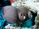 Black Angel Fish (XL 7-8 inches)