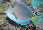 Atlantic Blue Tang (large 5 -7 inches (Caribbean Tang)