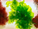 Ulva Lettuce aka Sea Lettuce is great for tank filtration and a food source for fish.