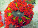 red and green ultra rock anemone, red & green rock flower anemone