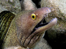 Purple Mouth Morays