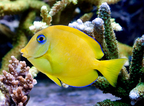 Blue Tang (Small) juvenile 1-2.5 inch