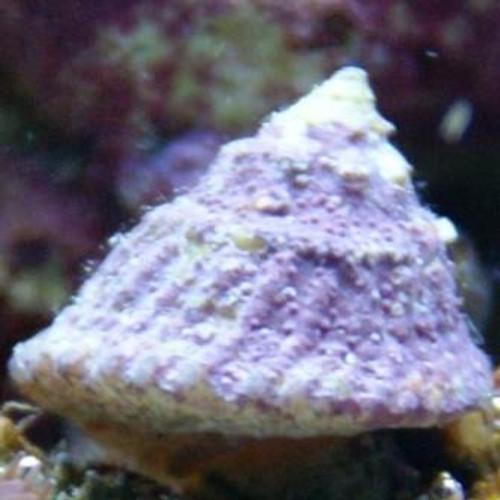 Astrea Turbo Grazer Snails