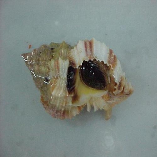 Murex Snails