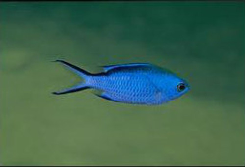 Blue  Chromis Damsel (Medium)