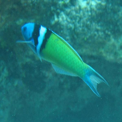 Blue Head Wrasse (large)