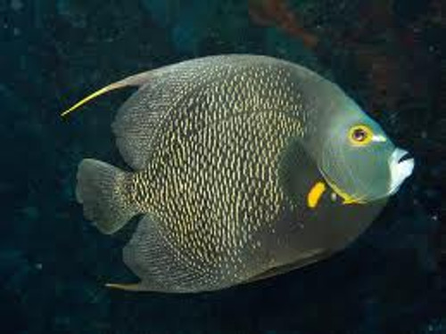 French Angelfish (Large 5-7 inches)