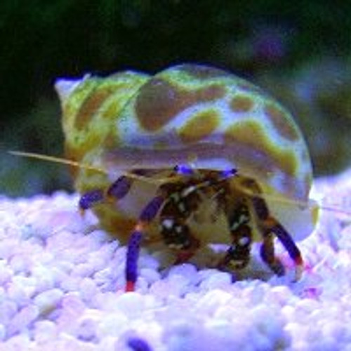 Blue Leg  Hermit Crab 25 Pack