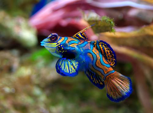 Blue Mandarin Goby