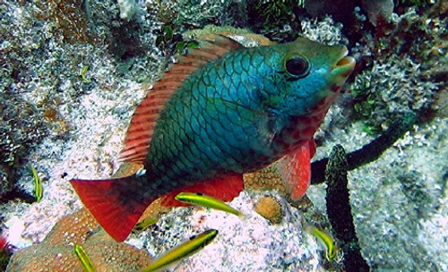 Red Banded Parrotfish (medium)