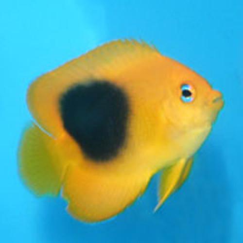 Rock Beauty Angelfish (small)
