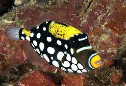 Clown Triggerfish  (1-2 inches small)