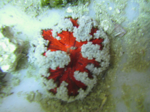 Blood Red White Lace Border Ultra Rock Anemone