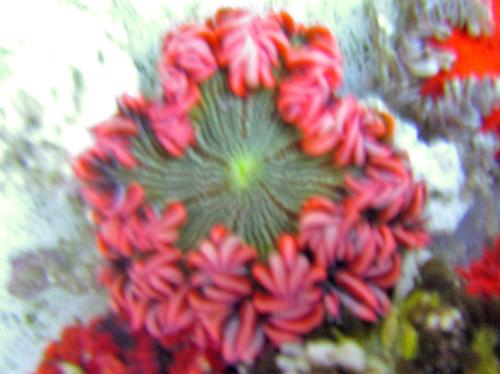 pink sea anemone, pink ultra rock flower anemone