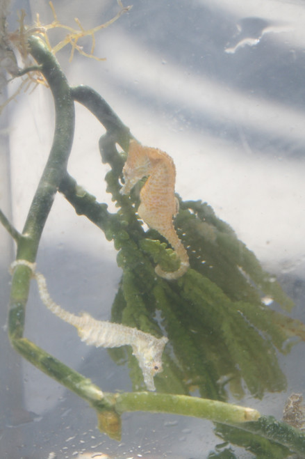 Dwarf Sea Horse-Mated Pair, The male is pregnant!
