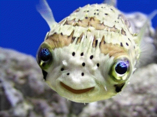 Balloon Puffers/ Spiny Porcupine Fish