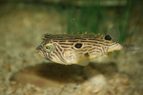 Spiny Box Puffers/ Striped Burrfish