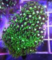 Green Star Polyp 205