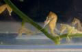 Dwarf Sea Horse 3 Pair- 6 seahorses for sale