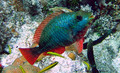 Red Banded Parrotfish (Small)