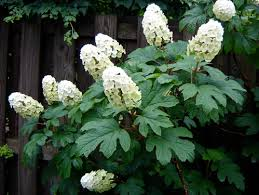 Image result for oakleaf hydrangea