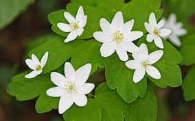 Image result for rue anemone