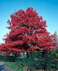 Image result for scarlet oak