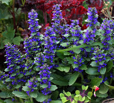 Image result for ajuga