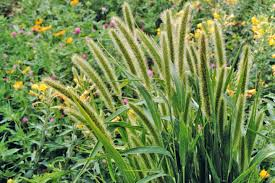 Image result for foxtail sedge