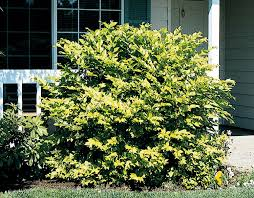 Image result for beautiful golden privet plants