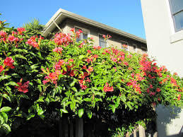 Image result for trumpet vine plants