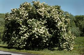 Image result for nannyberry bush