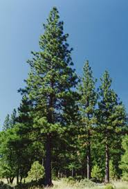 Image result for ponderosa pine