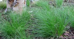 Image result for appalachian sedge