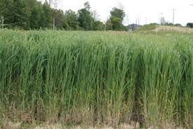 Image result for switchgrass