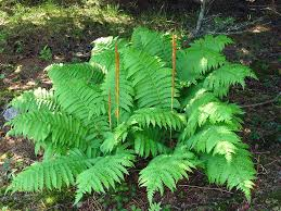 Image result for cinnamon fern